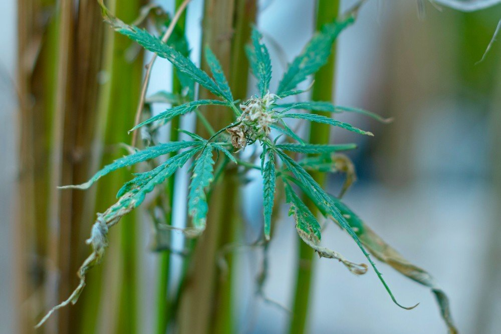 Dying cannabis plant