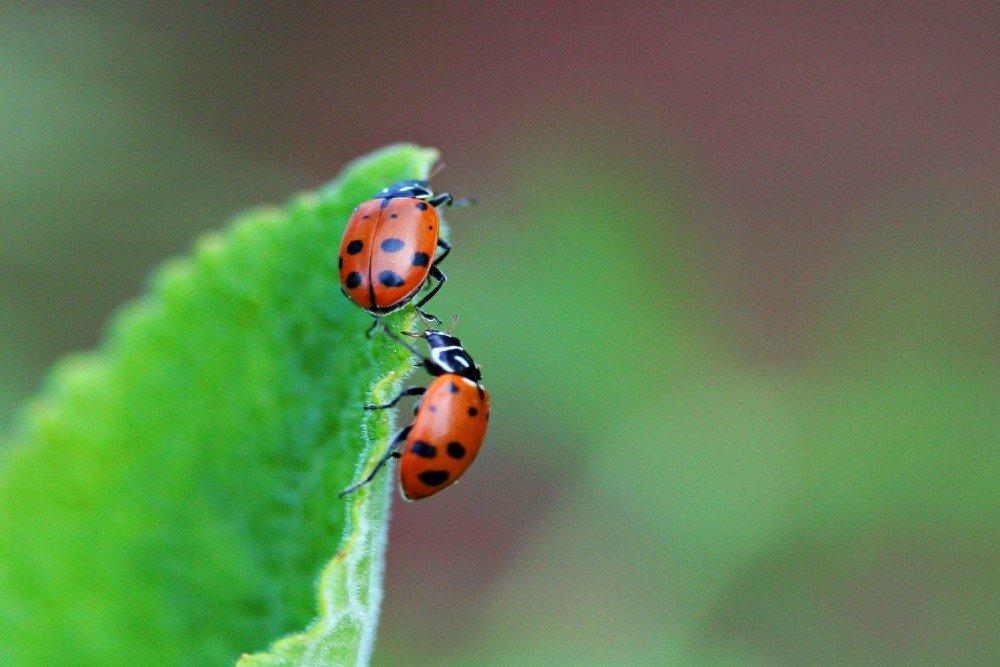 Consider a ladybug colony to treat spider mites