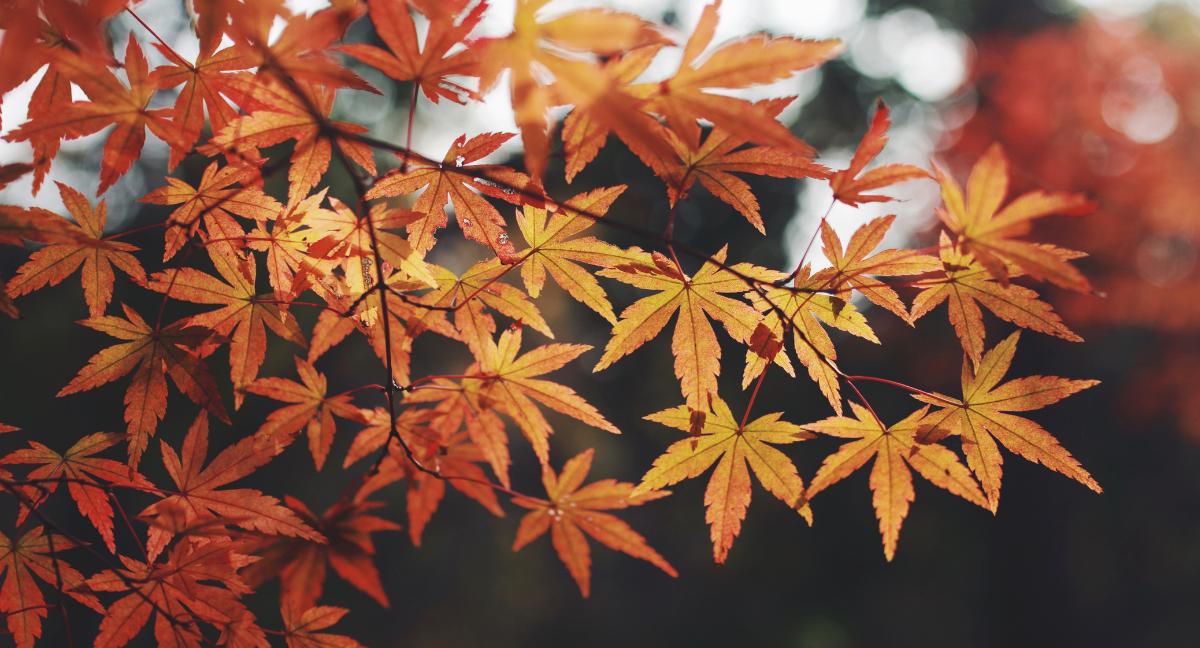 Yellow marijuana leaves