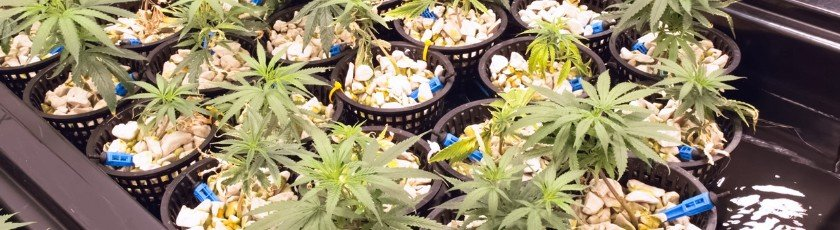 Hydroponic nutrients contain all that your weed plants need to grow