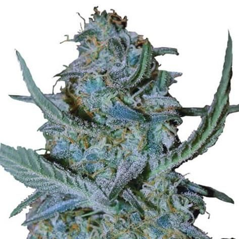 blue-cheese-weed
