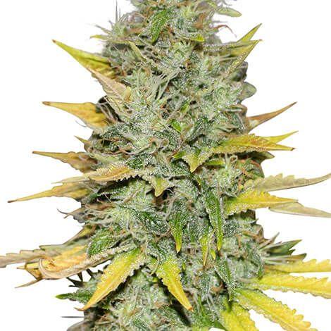 gold-leaf-seeds_2