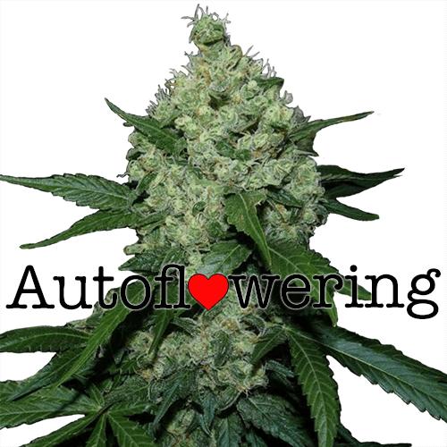 super-skunk-marijuana-seeds-auto