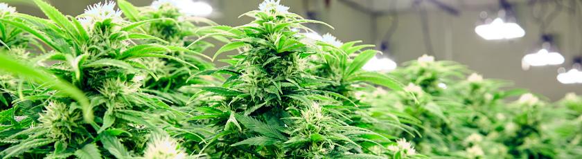growing marijuana under lights indoor