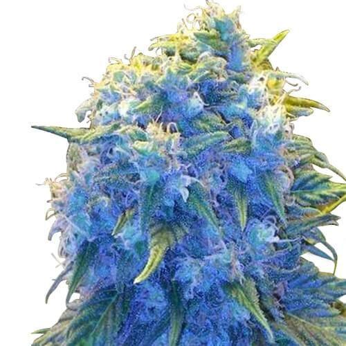 blue haze marijuana strain