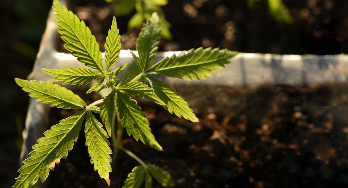 growing cannabis plants outdoor