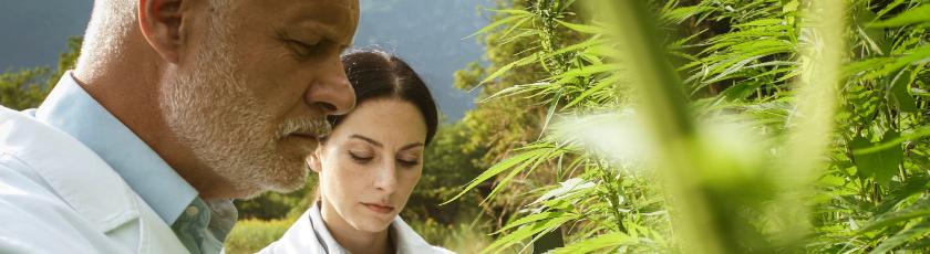 Harvesting Marijuana