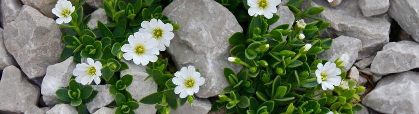 Cerastium Plants
