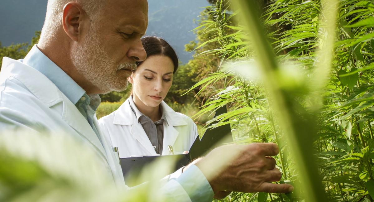 checking marijuana plants gender